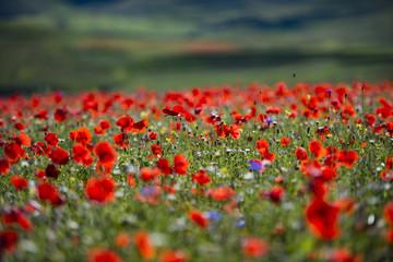 Poster Poppy Papaveri rossi in un campo