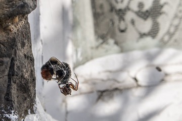 the spider scores a bee teice its size