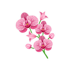 Vector branch of  pink orchid phalaenopsis isolated on a white background.