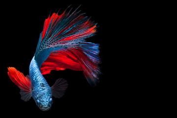 Multi color Siamese fighting fish,fighting fish,Betta splendens,on black background