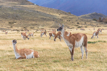 Herd of Guanakos at  Torres del Paine National Park
