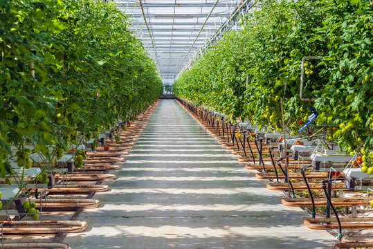 Tomato cultivation in a large Dutch greenhouse