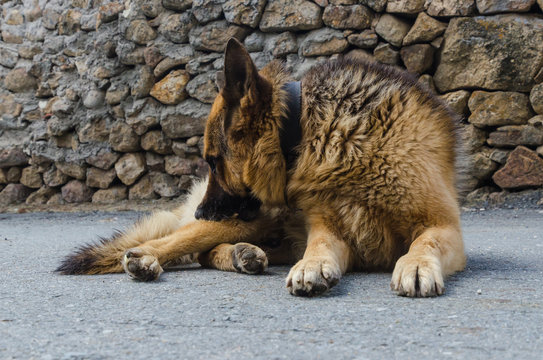 German shepherd dog scratching himself