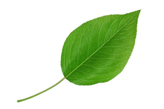 Pear leaf closeup on white