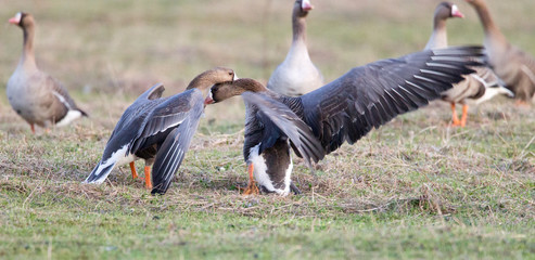 Greater white-fronted goose (Anser albifrons) in its natural habitat