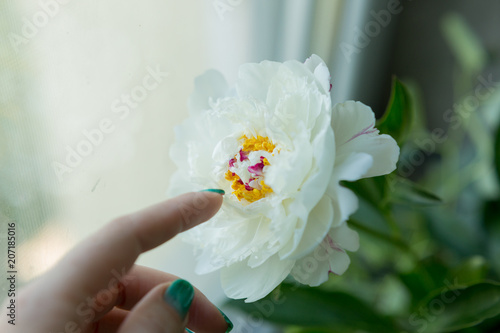 White peony with yellow middle white peony on the palm white white peony with yellow middle white peony on the palm white peonies spring mightylinksfo