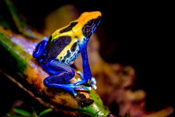 Photo Blinds Frog The dyeing dart frog, tinc (a nickname given by those in the hobby of keeping dart frogs), or dyeing poison frog (Dendrobates tinctorius) is a species of poison dart frog