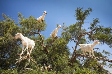 branches of tree and white goats on it in Morocco