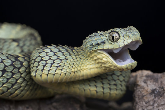 Venomous Bush Viper Snake (Atheris squamigera) looking happy