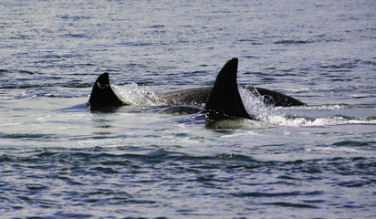 killer whales are jumping on the surface
