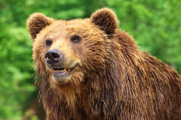 Poster - Bear grizzly in nature with green background