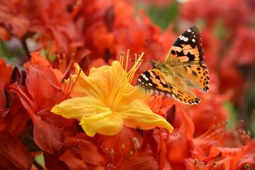 Schmetterling 498