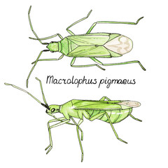 Vector illustration hand drawn sketch of bug Macrolophus in ink and watercolor on white background