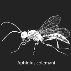 Vector illustration with hand drawn sketch of wasp Aphidius in ink on dark grey background