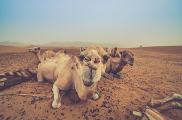 camels resting in the desert of sahara, merzouga, Morocco