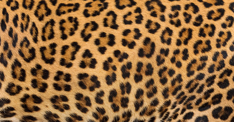 Poster Luipaard Leopard fur background.