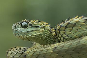 Hairy Bush Viper (Atheris hispida) - Venomous Snake