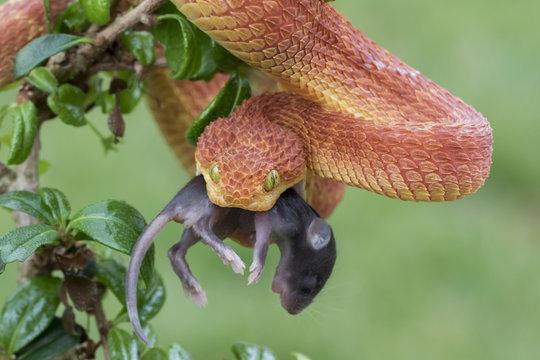 Venomous Male Bush Viper (Atheris squamigera) Snake Eating Rodent