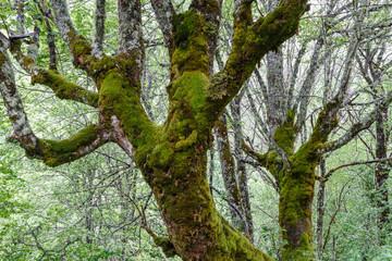 Troncos de arce, con musgo y líquenes. Acer psedoplatanus.