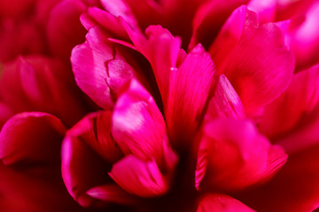 Close up blossoming fuchsia peony in spring