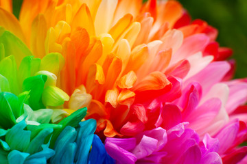 Multicolored petals of chrysanthemum. Painted chrysanthemum under the sun. Macro. Colorful and bright flowers in spring and summer.