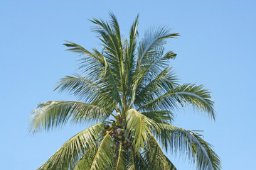 Coconut trees on clear blue sky