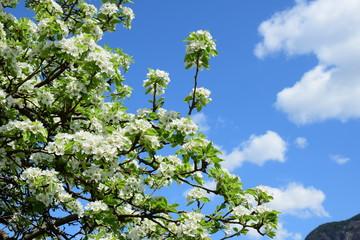 Blüten des Birnenbaumes vor blauen Himmel