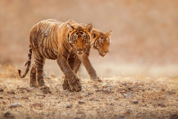 Cute tiger brothers in the nature habitat. Tigers walk during the golden light time. Wildlife scene with danger animals. Hot summer in India. Dry area with beautiful indian tiger, Panthera tigris