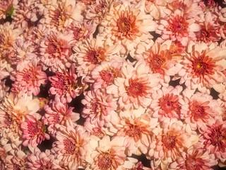 Beautiful Pink Chrysanthemum Flowers In The Garden