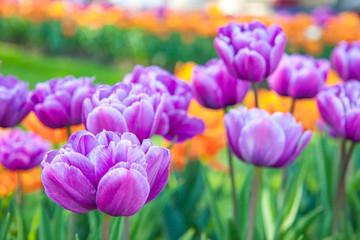 Purple terry tulips in the garden