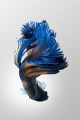Blue yellow siamese fighting fish, betta fish isolated on gray background