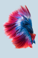 Blue red siamese fighting fish, betta fish isolated on gray background
