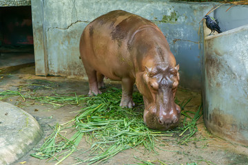 Hippopotamus are eating food. It is a large mammals.