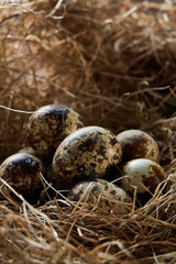Conceptual still-life with quail eggs in hay nest, close up, selective focus
