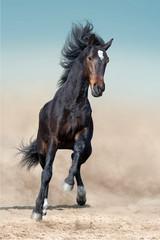 Wall Mural - Bay stallion with long mane run in desert dust against blue sky