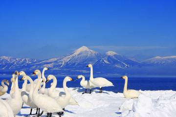 白鳥と磐梯山(福島県・湖南町)