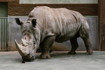 Ingelijste posters Neushoorn close up shot of endangered white rhino standing at zoo