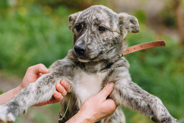 people holding cute little grey puppy with collar in hands. doggy playing outdoors. scared homeless dog looking for home. adoption concept