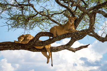 Sleeping and relaxing lions in a tree