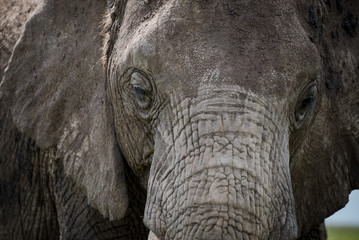 Closeup portrait of an elephant