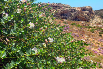 Mediterranean caperi bush with blossomed flowers