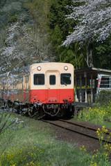 Kominato Tetsudo Train and Sakura cherry blossom in spring season. The Kominato Line is a railway line in Chiba Prefecture, Japan