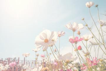 Fototapete - Vintage tone beautiful cosmos flower in the field