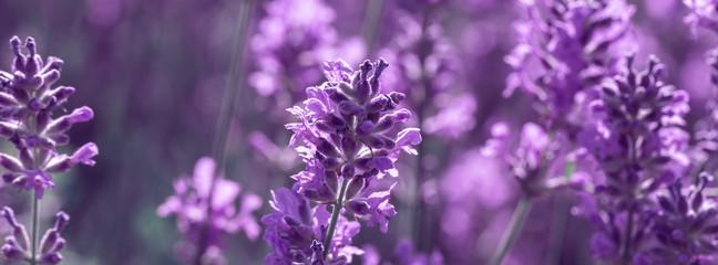 banner field lavender morning summer blur background