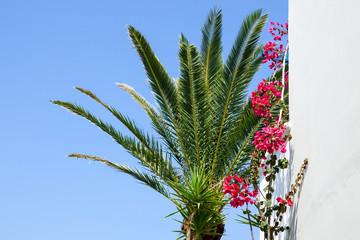 A white traditional Greek concrete house with a palm tree and a bougainvillea growing on the facade. Crete, Greece.