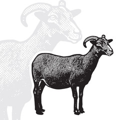 Goat - realistic black and white vector illustration. Cute farm animal image in profile in engraving style. Portrait side view, graphic design element for logo or template.