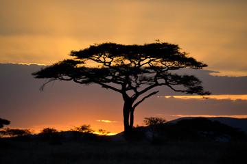 Umbrella thorn acacia in the Serengeti during sunrise