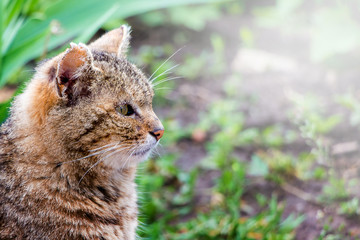 Portrait in profile of   close-up profile of  brown striped cat. Cat looks closely_