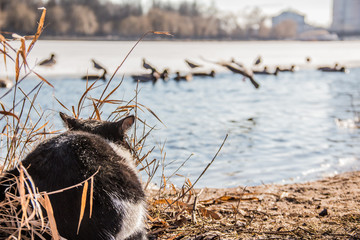 the cat hunts the duck