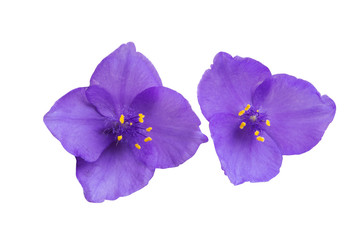 spiderwort flower isolated